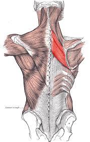 Definito il ruolo del fattore di trascrizione Nfix nella rigenerazione del muscolo scheletrico
